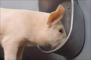 Drinking cups for pigs